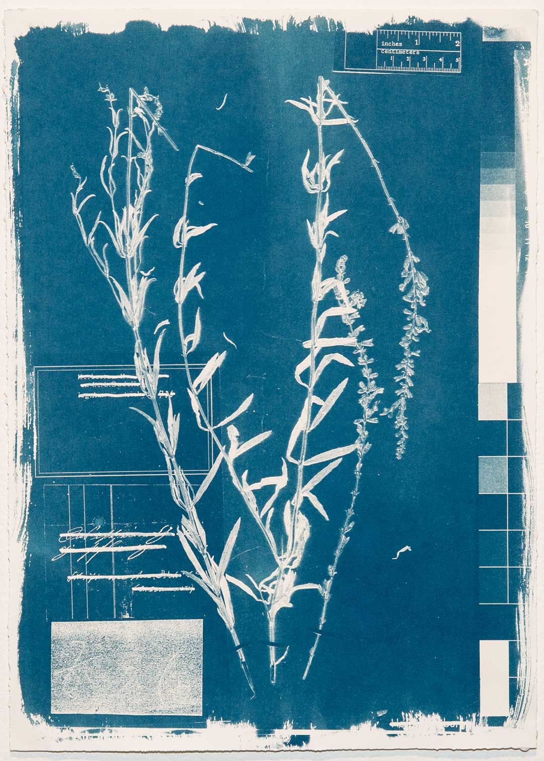 <b>Herbarium Hamburgense 2016-2017</b><br /> Cyanotypes on Canson Edition, edition of 10, each image 30 x 42 cm.
