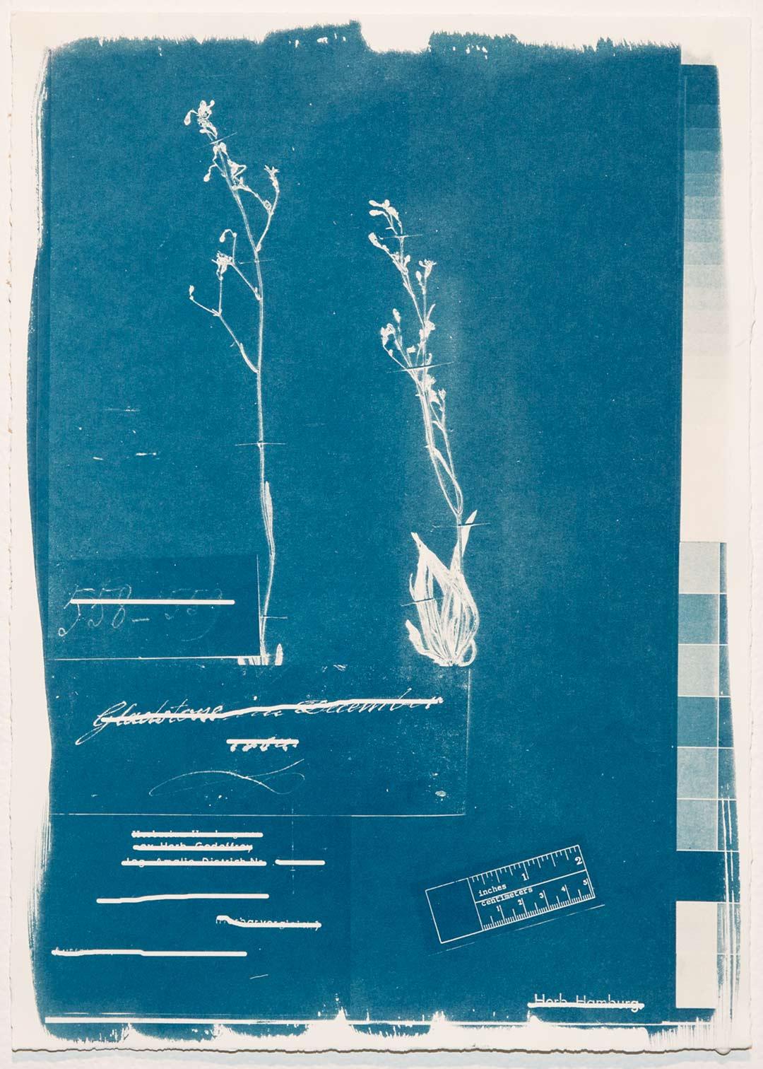 <b>Herbarium Hamburgense 2016-2017</b><br /> Cyanotypes on Canson Edition, edition of 10, each image 30 x 42 cm.