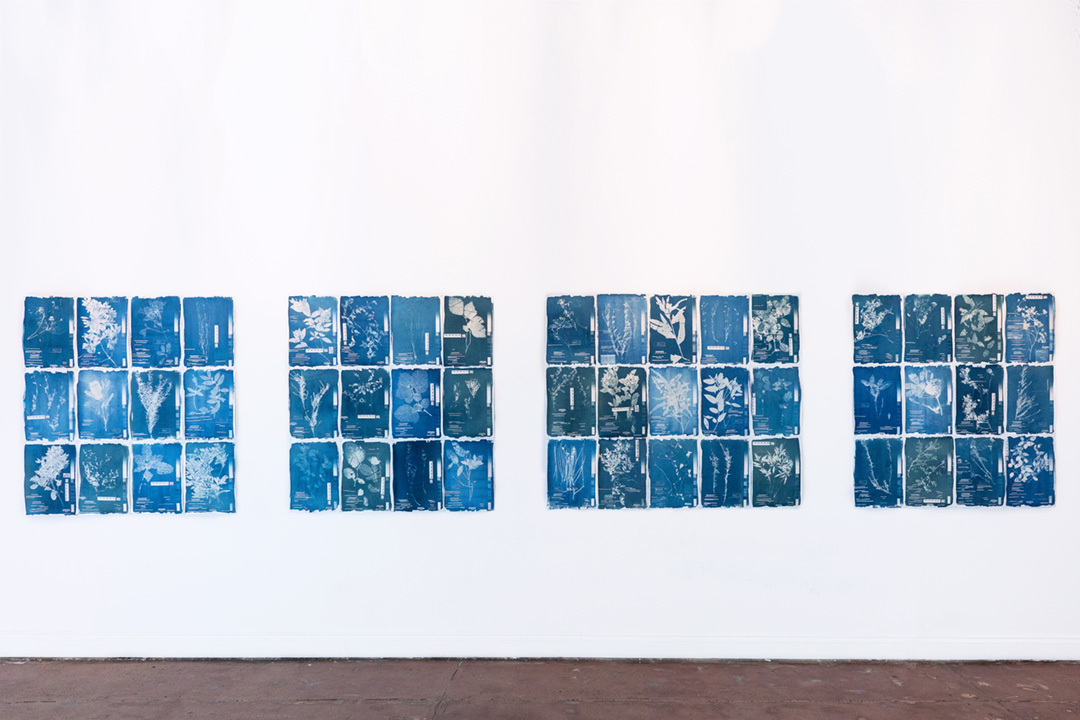 <b>Herbarium Hamburgense 2016-2017</b><br /> Installation view, Quadrat, POP Gallery<br /> Cyanotypes on Canson Edition, edition of 10, each image 30 x 42 cm.