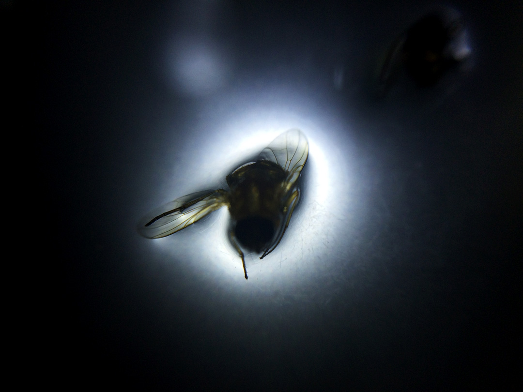 <b>Diptera series 2016</b><br /> digital photograph<br /> Digital photographs created from experiments with a microscope, a novelty store macro lens and an iPhone